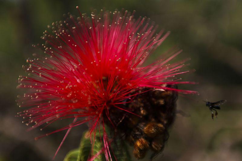 Alto Paraíso (GO) -  Flor de Caliandra na região do Parque Nacional da Chapada dos Veadeiros (Marcelo Camargo/Agência Brasil)