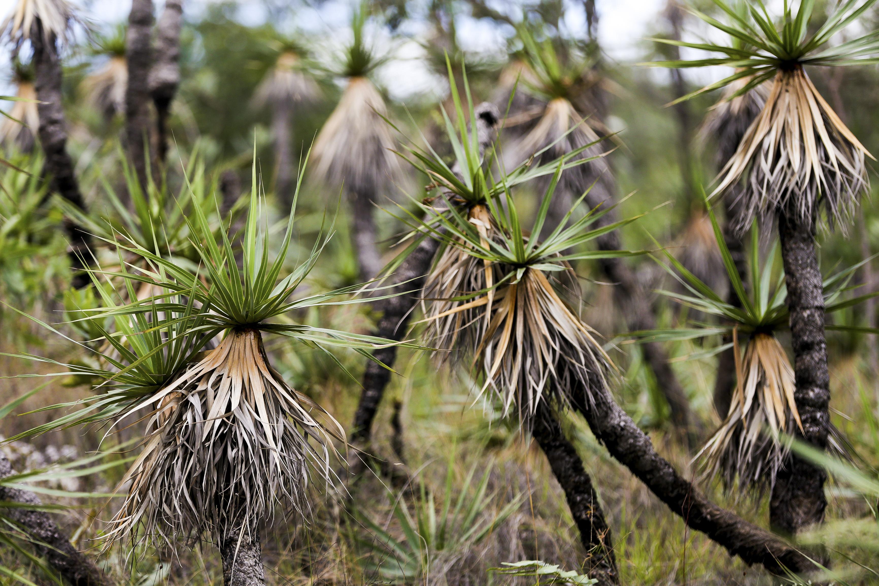 Alto Paraíso (GO) - Planta conhecida como Candombá, uma das mais comuns na região do Parque Nacional da Chapada dos Veadeiros (Marcelo Camargo/Agência Brasil)